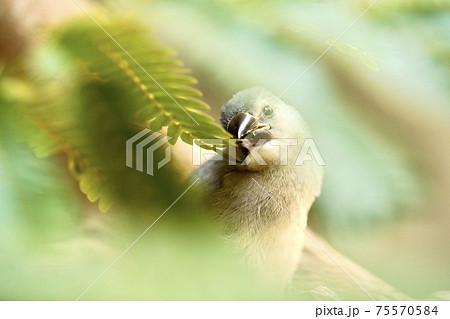 葉をついばむ桜文鳥 75570584