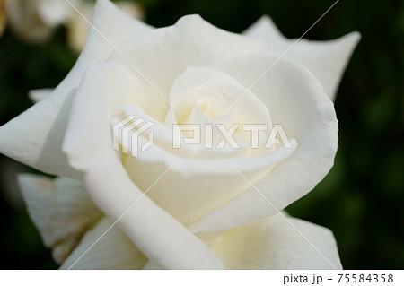美しく咲いたヨハネ・パウロ2世という名のバラのクローズアップ 75584358