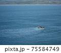 網を引く小さな漁船に餌を求めて群がるカモメたち 75584749