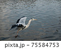 餌を求めて春の公園で活発に活動し始めた一匹の鷺 75584753