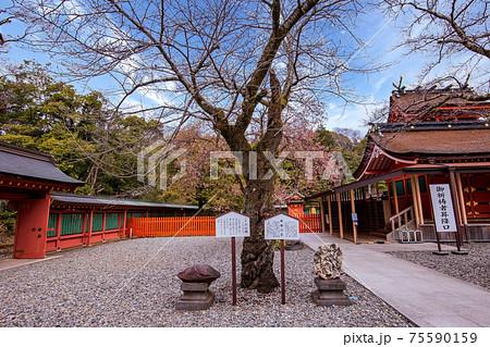 (静岡県)桜が咲きだした、富士山本宮浅間大社 75590159