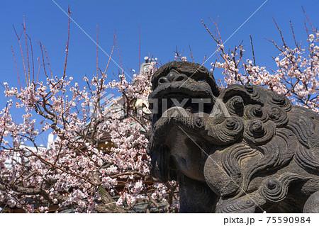 湯島天神の狛犬と桜 75590984