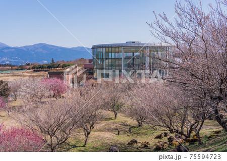 (静岡県)裾野市梅の里 紅白梅が満開 75594723