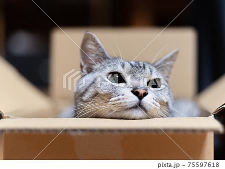 ダンボール箱から顔を出す猫 サバトラ猫 75597618
