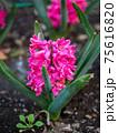 3月晴れの桃の花(クローズアップ縦撮) 75616820