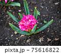 3月晴れの日の咲きかけの赤いヒヤシンス 75616822