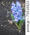 3月晴れの日の咲きかけの青いヒヤシンス  75616823