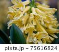 3月晴れの日の咲きかけの黄色のヒヤシンス 75616824