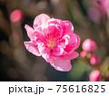 3月晴れの桃の花 75616825
