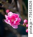 3月晴れの桃の花(縦撮) 75616826