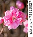 3月晴れの桃の花(クローズアップ縦撮) 75616827