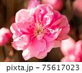 3月晴れの桃の花(クローズアップ) 75617023