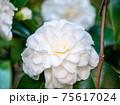 3月の晴れの日の白い椿 75617024