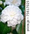 3月の晴れの日の白い椿(縦撮) 75617025