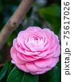 3月の晴れの日のピンクの椿と枝 75617026