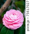 3月の晴れの日のピンクの椿 75617027