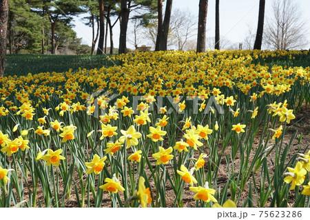 ひたち海浜公園の春 水仙の花の咲く風景 75623286