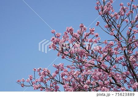 彼岸桜 横 75623889