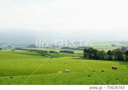 ニュージーランドの田舎にあるの羊のための牧草地帯 75626783