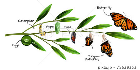 Butterfly Metamorphosis Composition 75629353