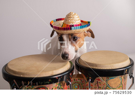 A funny dog in a sombrero plays mini bongo drums. Jack Russell Terrier in a straw hat next to a traditional ethnic percussion instrument 75629530