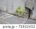 コンクリートの隙間に育つクローバー 75632432