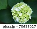 紫陽花と梅雨のハジマリ 75633027