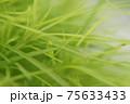美しい緑色のコキア(ほうき草)のアップ 75633433