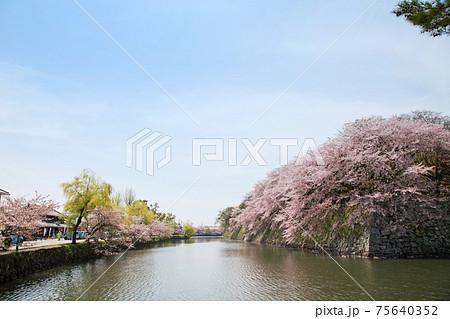 彦根城 お堀の桜並木の風景 75640352