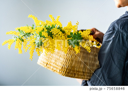 Woman holding bouquet of mimosa in the basket. 75658846