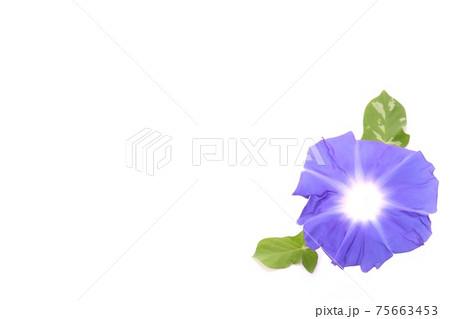 背景素材 青いアサガオ 白背景 75663453