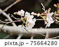 桜 75664280