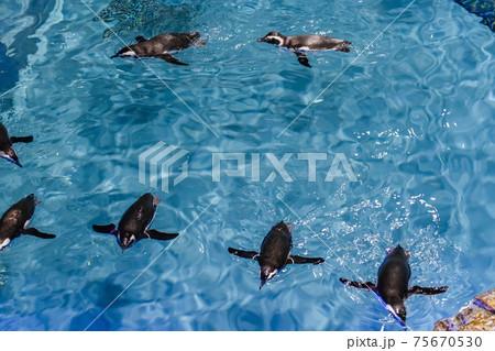 すみだ水族館の水槽で並んで泳ぐペンギン 75670530