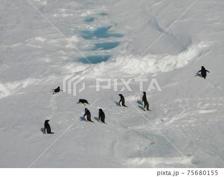 海氷上を歩くアデリーペンギンたち 75680155