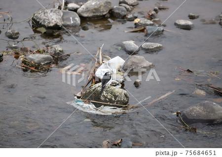 石に引っかかているビニール袋のゴミとセキレイ 75684651