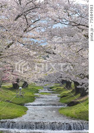 早朝の観音寺川、静けさの中で舞い散る桜 75684983