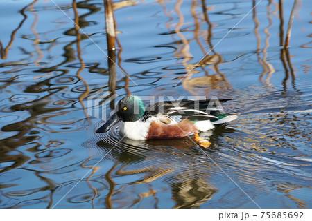 池で気持ちよさそうに泳ぐハシビロガモの雄 75685692
