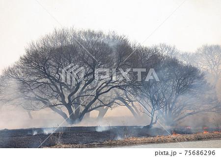 葦の群生地の野焼き 75686296