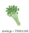 三つ葉 / Japanese parsley 手描きイラスト 75691100