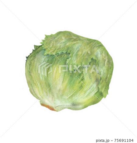 レタス / lettuce 手描きイラスト 75691104