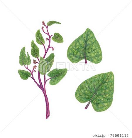 ツルムラサキ / Malabar spinach, Indian spinach 手描きイラスト 75691112