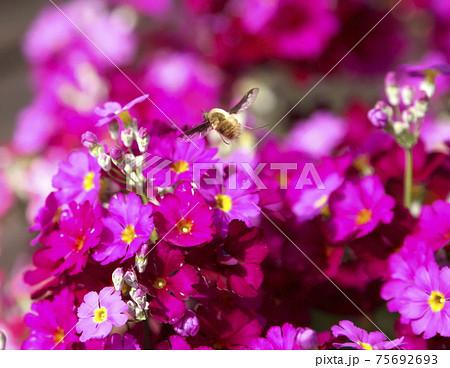 高速シャッターで撮影したサクラソウの上を飛ぶ蜂 75692693