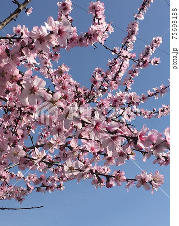 青空に映えるピンクの桜を見上げた画像 75693138