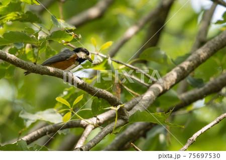 鳴き真似や芸をこなす器用な鳥 ヤマガラ 75697530