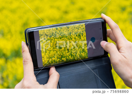 一面に咲く菜の花をスマホで撮影している女性 スマホの画面に写る菜の花畑 75698860