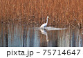 餌である魚を追う白鷺 75714647