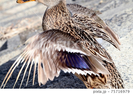 水辺の鳥:カルガモ&羽ばたき:大阪府淀川 75716979