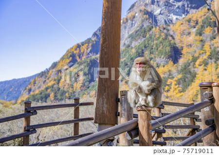 【長野県】秋の上高地 明神岳・明神橋とニホンザル 75719011