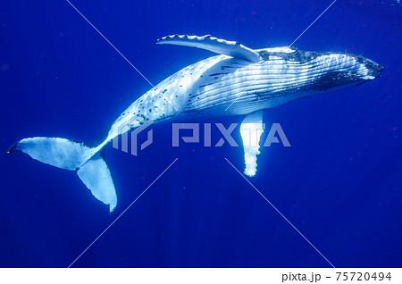 ザトウクジラ 75720494