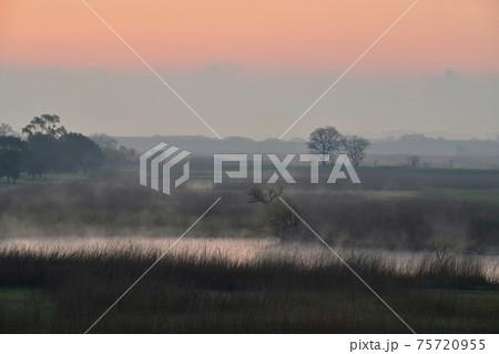 朝焼けする霧の渡良瀬遊水地の葦原に木立 75720955